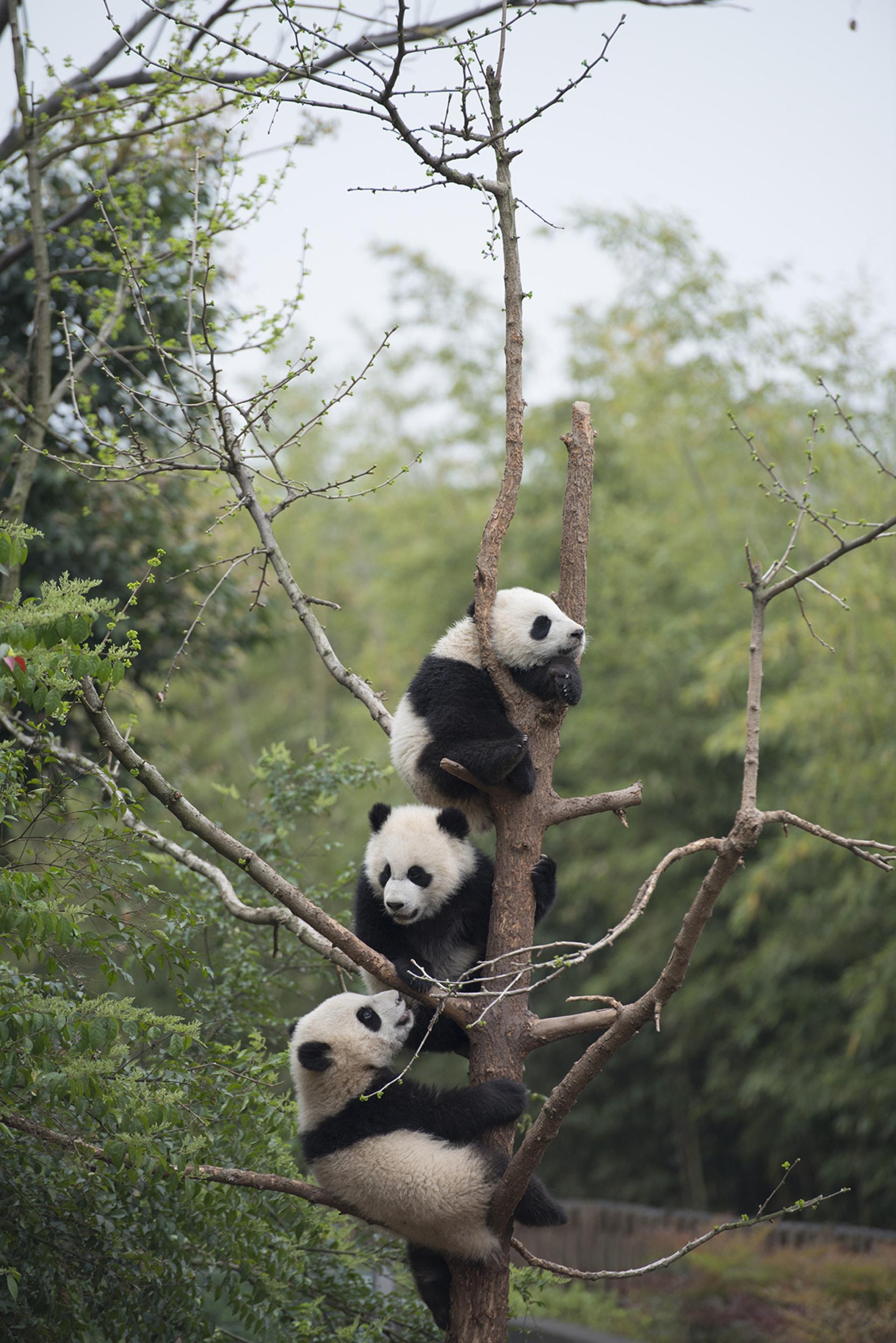 Giant Panda cubs developing their tree-climbing skills at China's Chengdu Panda Base as seen in the new IMAX® film, PANDAS