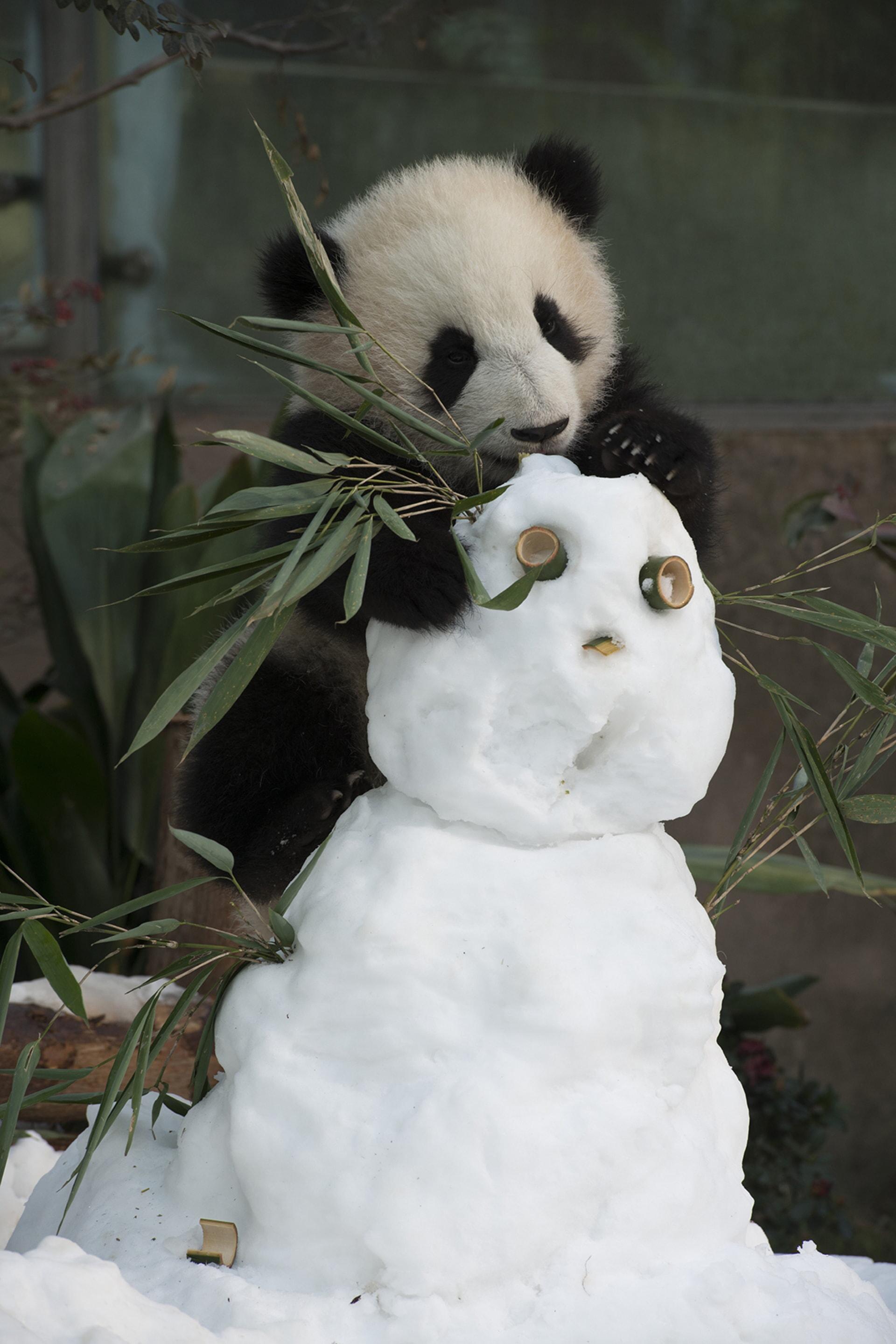 A Giant Panda at China's Chengdu Panda Base as seen in the new IMAX® film, PANDAS