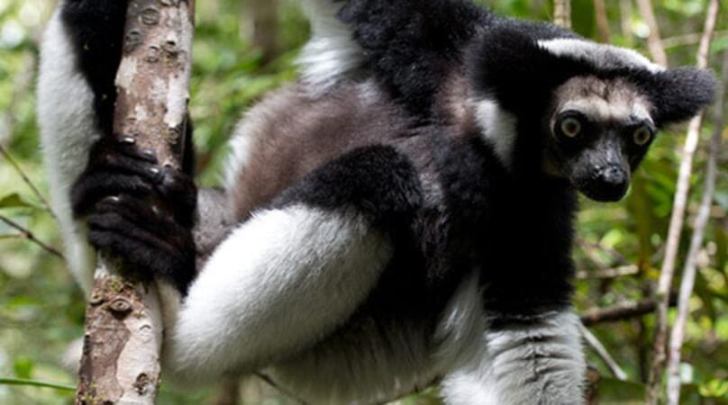 Island of Lemurs: Madagascar - Image - Image 2