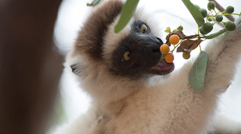 Island of Lemurs: Madagascar - Image - Image 3