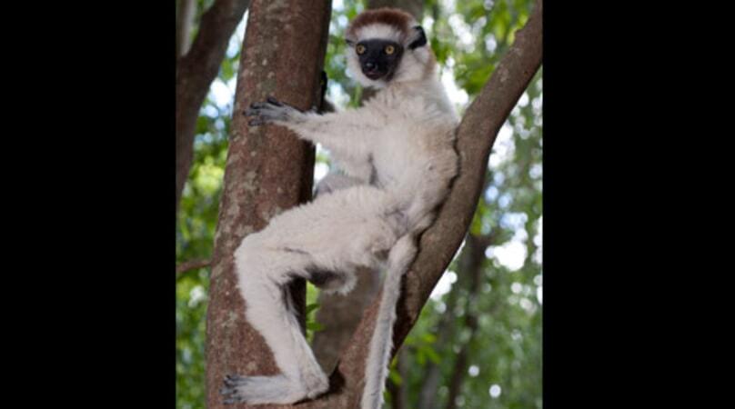Island of Lemurs: Madagascar - Image - Image 6