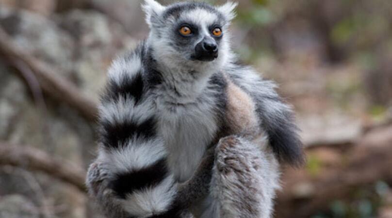 Island of Lemurs: Madagascar - Image - Image 9