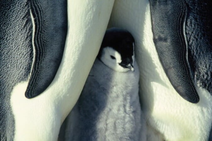 March of the Penguins - Image - Image 1