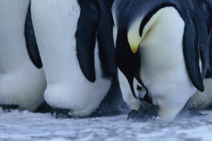March of the Penguins - Image - Image 30