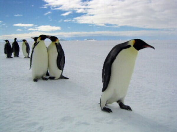 March of the Penguins - Image - Image 5