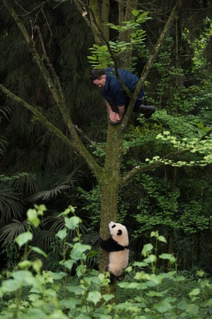 DR. JAKE OWENS, Ph.D. (wildlife conservation biologist) and a Giant Panda climb a tree at Panda Valley in Dujiangyan, China as seen in the new IMAX® film, PANDAS