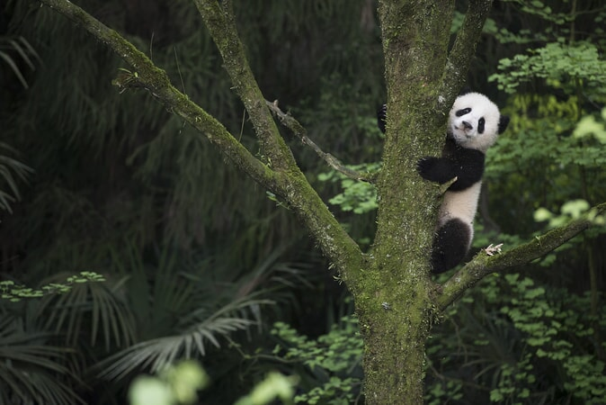A Giant Panda cub exploring the learning enclosure at Panda Valley in Dujiangyan, China as seen in the new IMAX® film, PANDAS