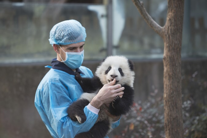 DR. JAKE OWENS, Ph.D. (wildlife conservation biologist) holds a Giant Panda cub at Panda Valley in Dujiangyan, China as seen in the new IMAX® film, PANDAS