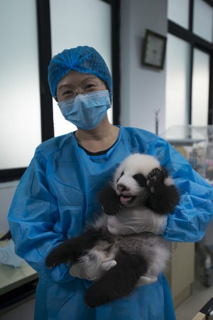 HOU RONG (Director of Research at Chengdu Panda Base) holds a Giant Panda cub at Panda Valley in Dujiangyan, China as seen in the new IMAX® film, PANDAS