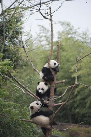 Giant Panda cubs developing their tree-climbing skills at China's Chengdu Panda Base as seen in the new IMAX® film, PANDAS
