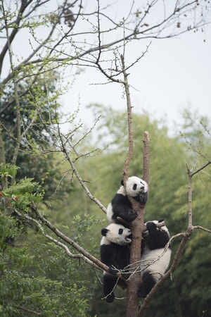 Giant Panda cubs at China's Chengdu Panda Base as seen in the new IMAX® film, PANDAS