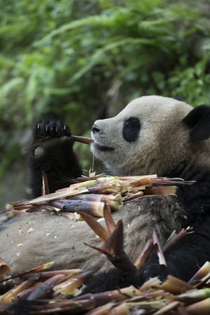 A Giant Panda chosen for a reintroduction program enjoys some tasty bamboo in the learning enclosure at Panda Valley in Dujiangyan, China as seen in the new IMAX® film, PANDAS