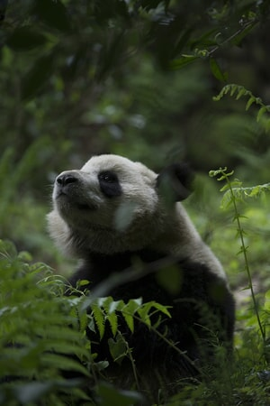 A Giant Panda at Panda Valley in Dujiangyan, China as seen in the new IMAX® film, PANDAS