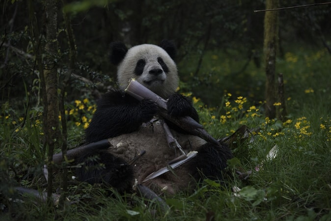 Qian Qian, a Giant Panda raised in captivity, eats bamboo, which represents nearly 99% of a panda's diet, at her home in the Liziping Nature Reserve as seen in the new IMAX® film, PANDAS